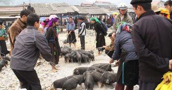 Cách chọn mua lợn cắp nách Sapa chuẩn