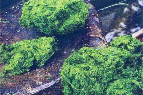 cách làm món rêu đá Lai Châu 1