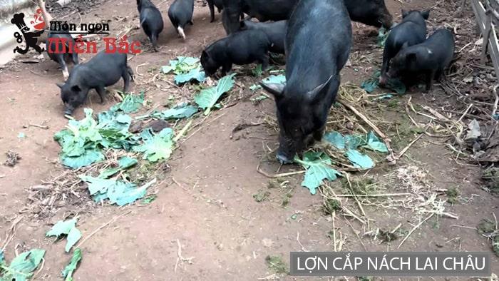 Lợn cắp nách là 1 trong những món đặc sản làm quà được yêu thích ở Lai Châu