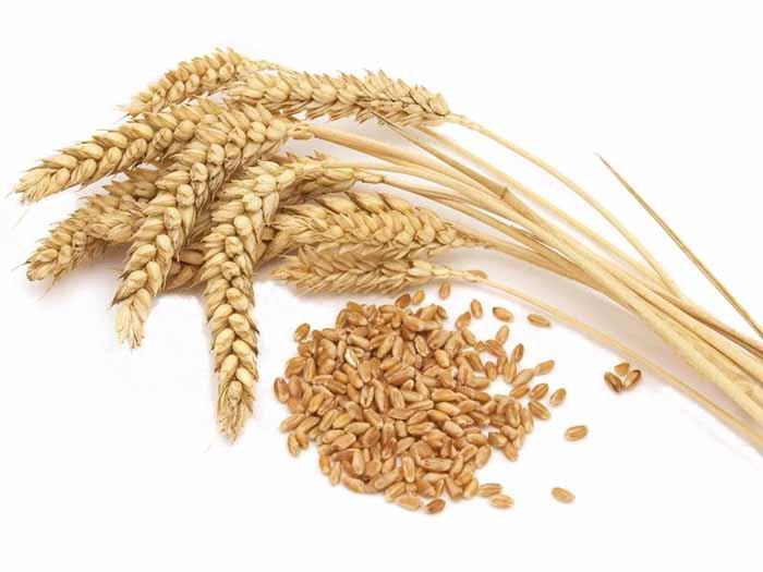 Mầm lúa mì là thực phẩm giàu vitamin E rất tốt cho người hút thuốc