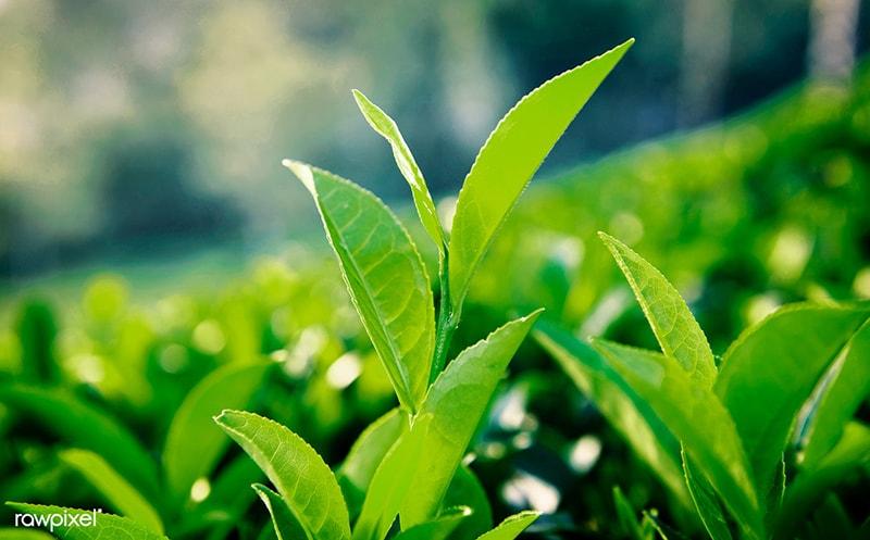 8 tác dụng của lá trà xanh với sức khỏe mà bạn chưa biết
