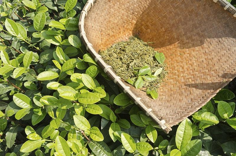 Lá trà xanh giúp giảm cân