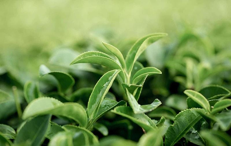 Trà xanh giúp ngăn ngừa cảm cúm, giảm nguy cơ hen suyễn