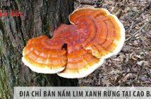 địa chỉ bán nấm lim xanh rừng tỉnh Cao Bằng