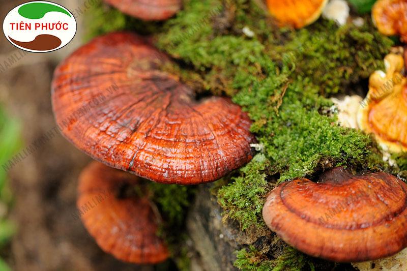 Địa chỉ bán nấm lim xanh rừng tỉnh Tuyên Quang uy tín1