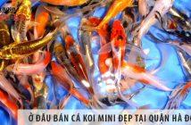 Ở đâu bán cá koi mini đẹp, giá rẻ tại Quận Hà Đông?