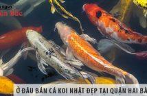 Ở đâu bán cá Koi Nhật đẹp, giá rẻ tại Quận Hai Bà Trưng?